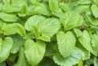 Citroenmelisse - Een nutsplant