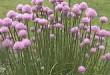 Bieslook: Allium schoenoprasum